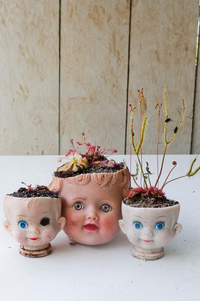 doll-head-planters-sundews-drosera-1-of-1